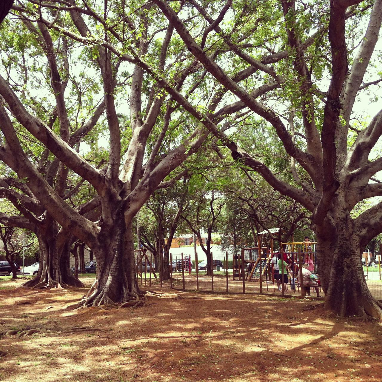 """A """"tríade"""". Praça Gastão Vidigal, Jardim América. Às vezes vou lá só pra ver estas árvores."""