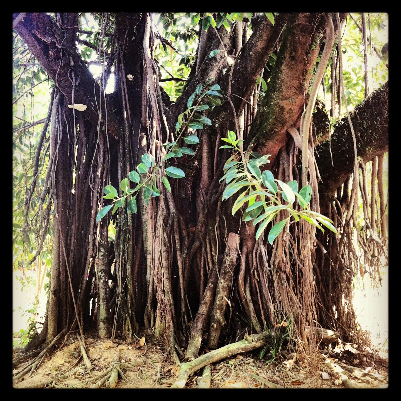 As árvores centenárias da cidade