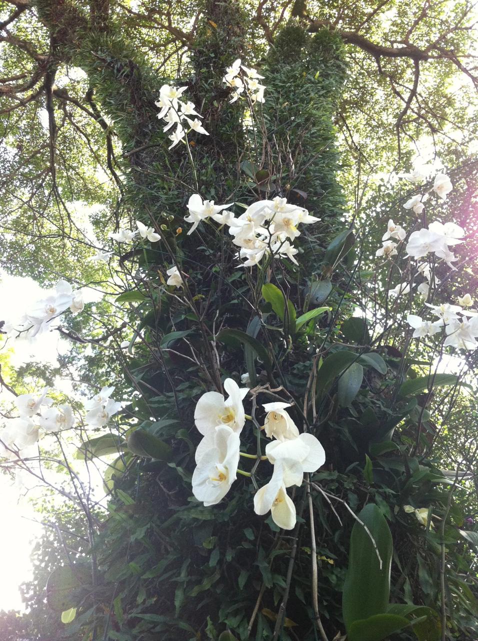 Orquídeas colocadas voluntariamente nas árvores da cidade