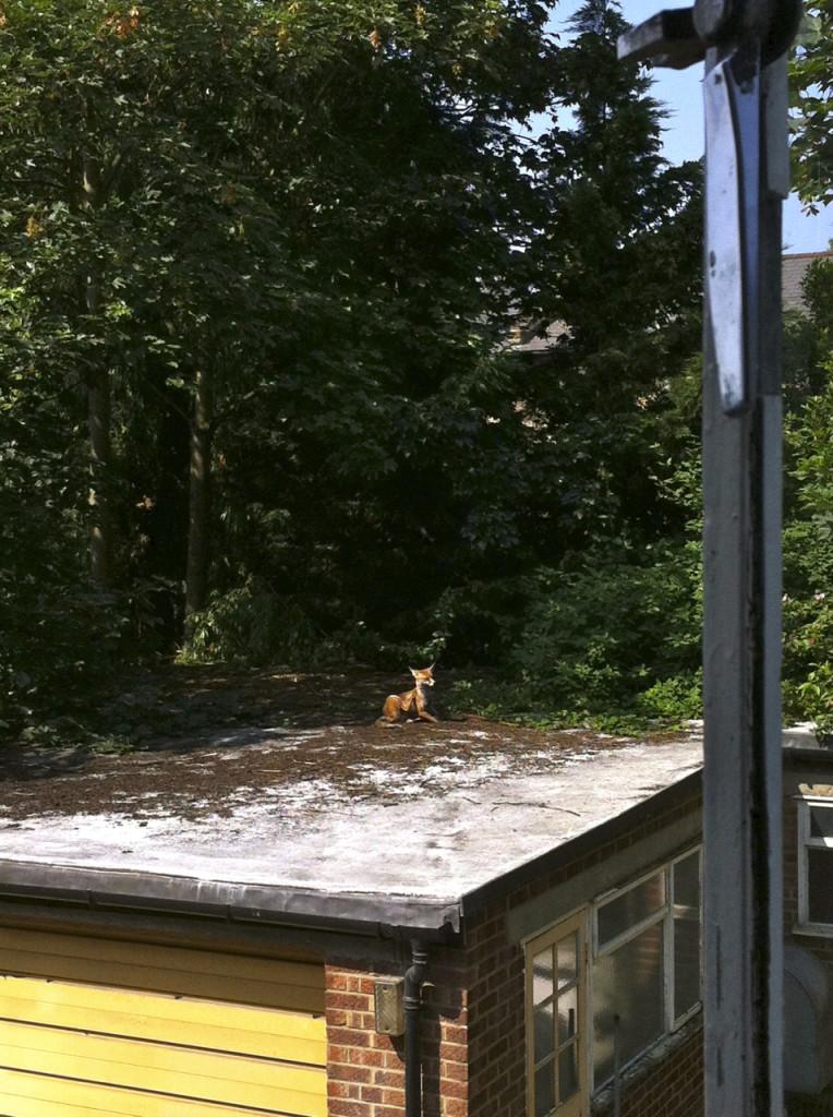 Não, não é um gato e nem um cachorro. Mas uma raposinha tomando sol