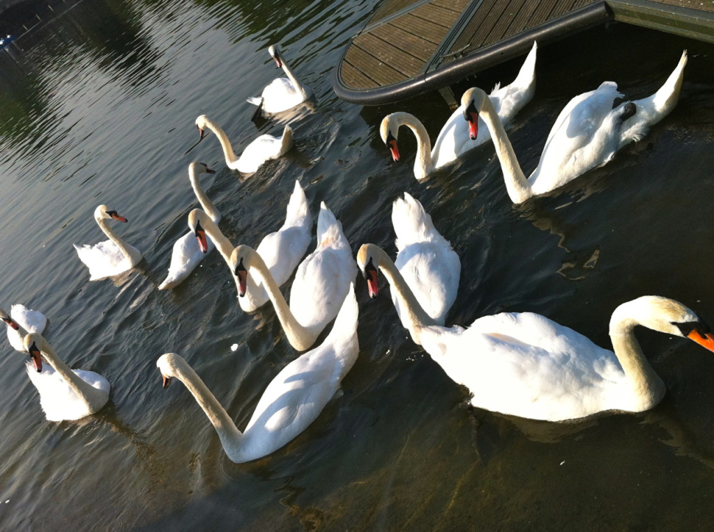Os cisnes da Rainha, Hyde Park (foto by Natália Pires)