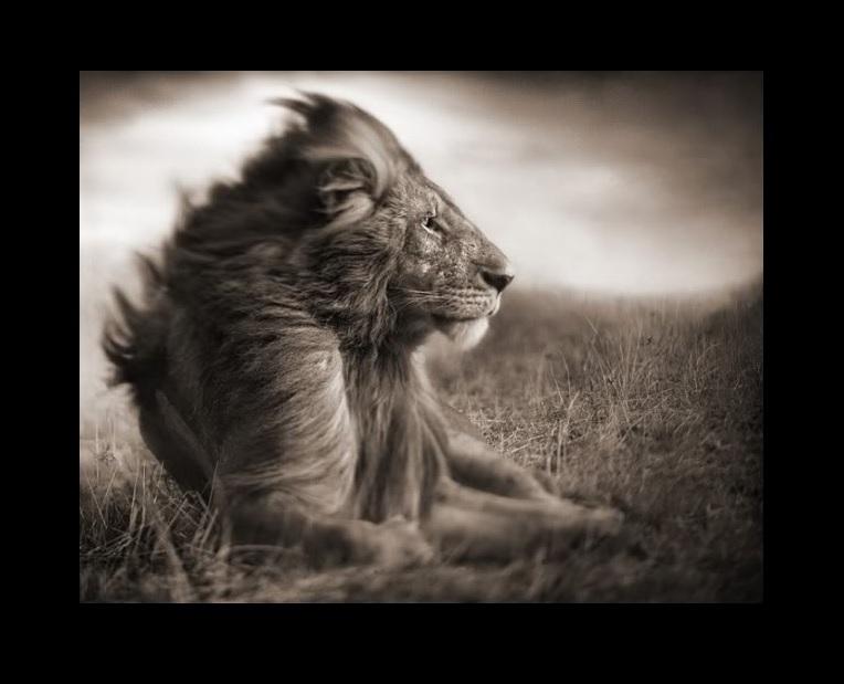 Lion Mademoiselle