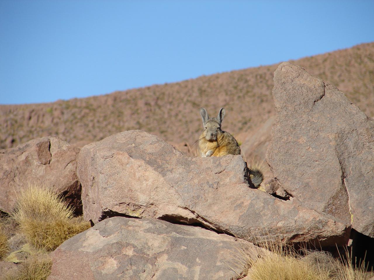 Uma lebre (fofa!) do deserto