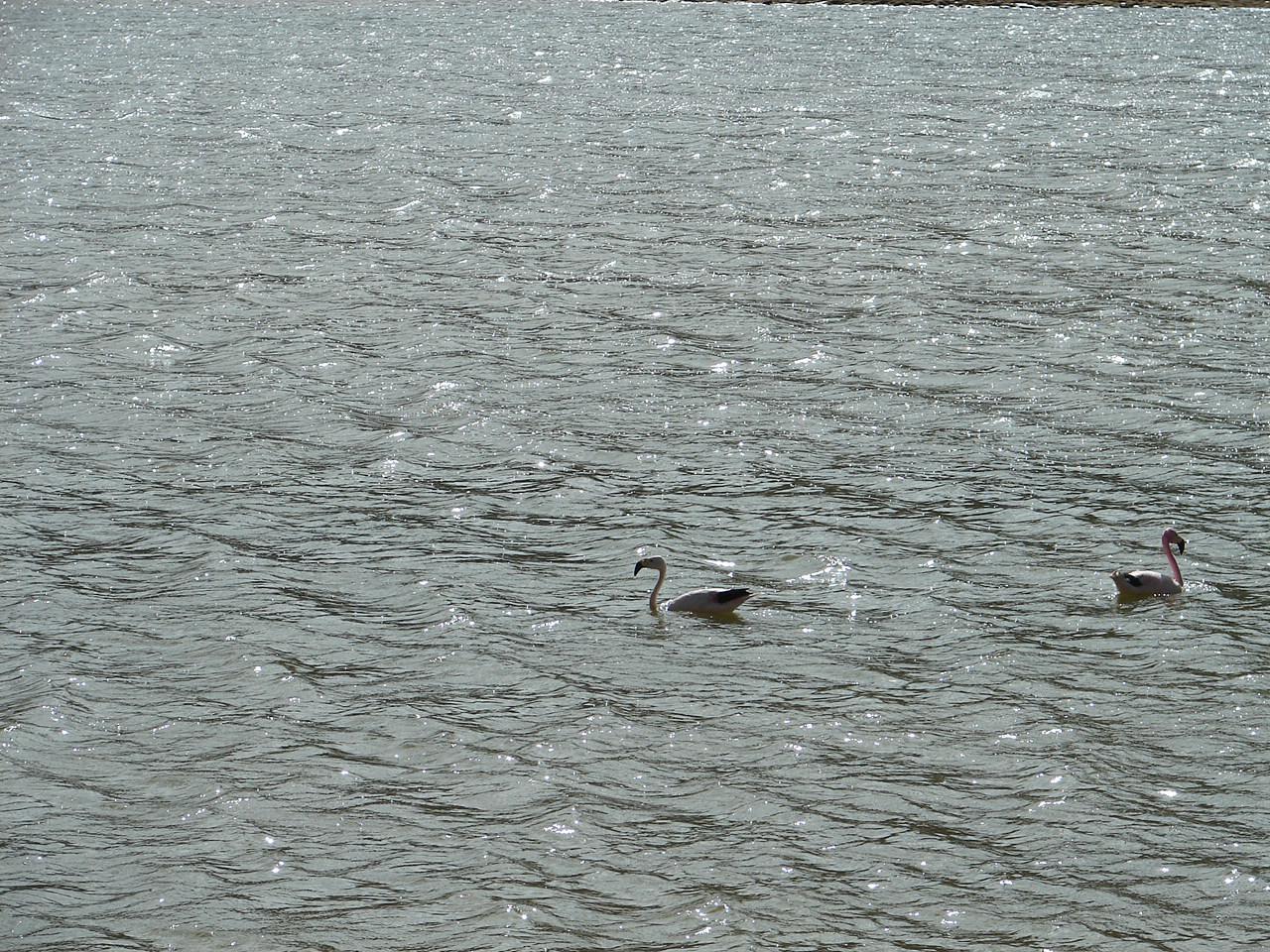 Mais flamingos, aqui, super à vontade
