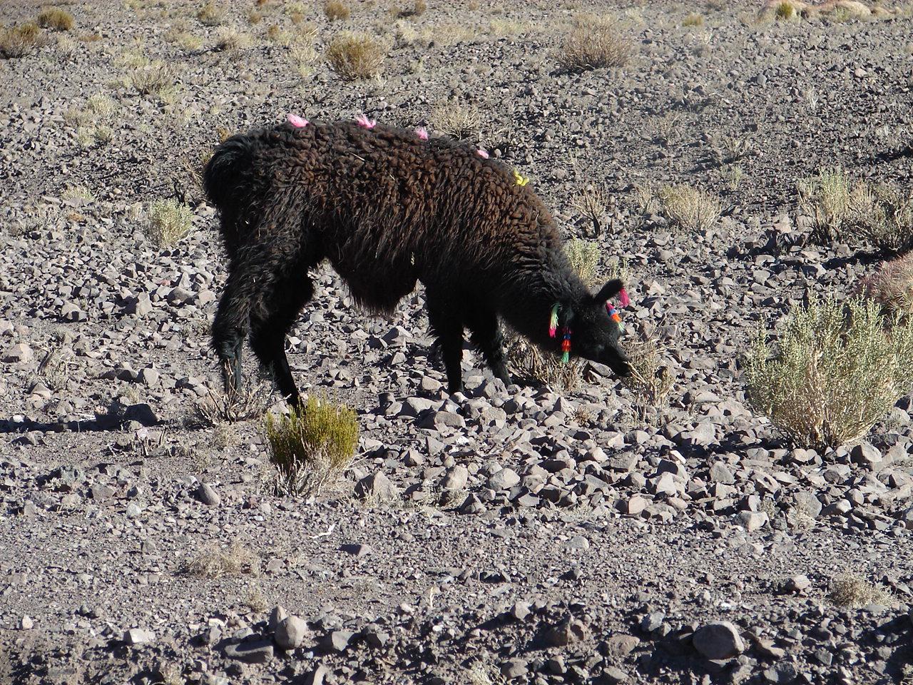As lhamas são animais sagrados. É comum vê-las enfeitadas especialmente em período de festas