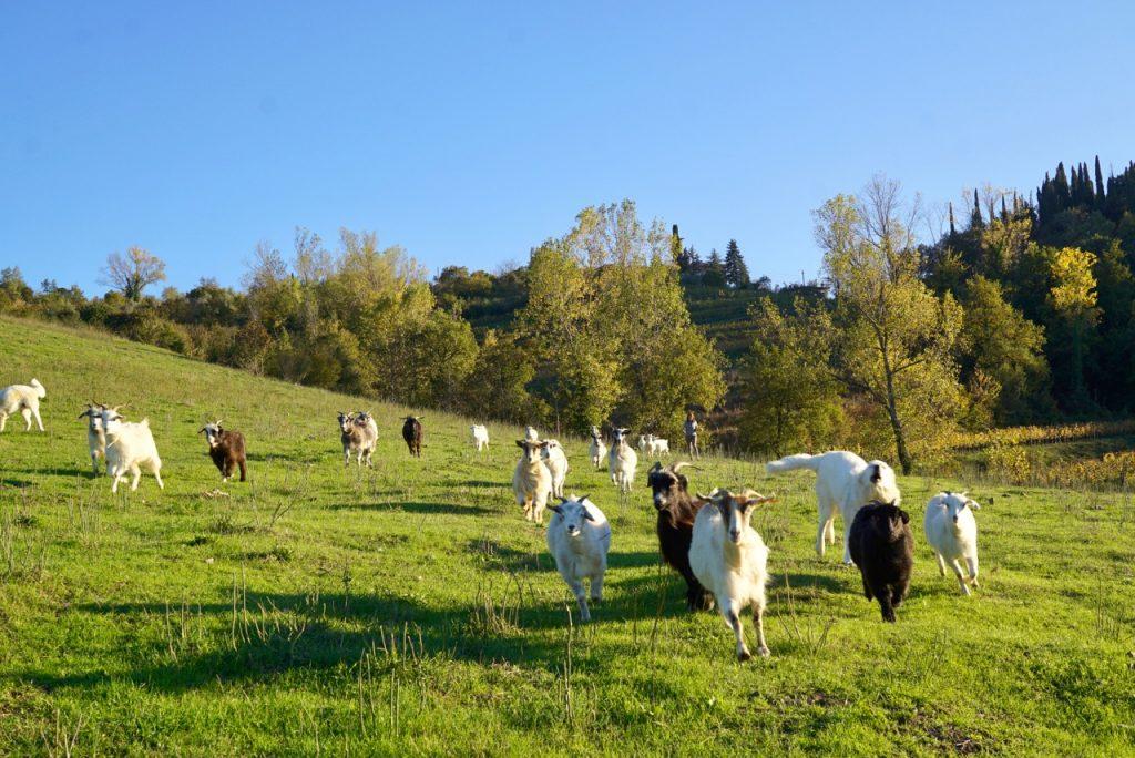 Fomos recolher as cabras com Nora